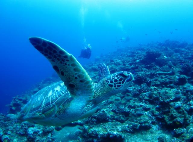 石垣島ダイビングで亀と会う